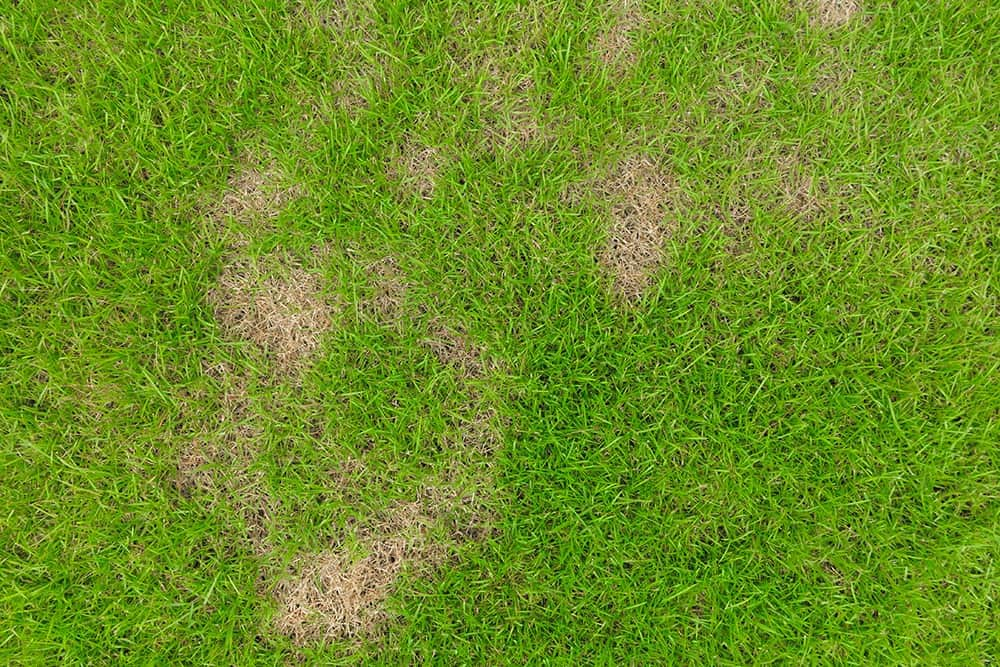 what does dollar spot fungus look like